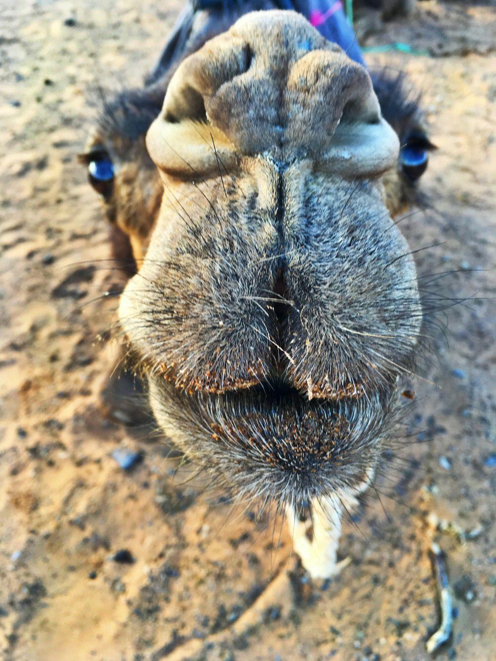 camel morocco travel