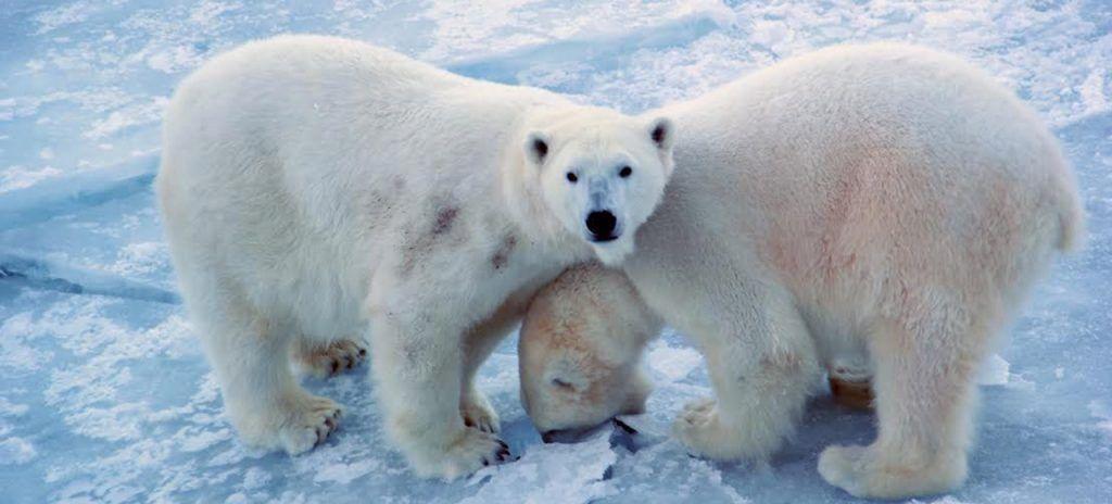 Visita a los osos polares en Ranua Zoo con Unitrips Auroras boreales en Finlandia